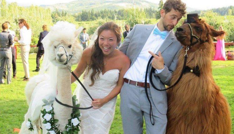 Dabar vietoj žmonių į vestuves galima pakviesti lamą su kaklaraiščiu – peteliške